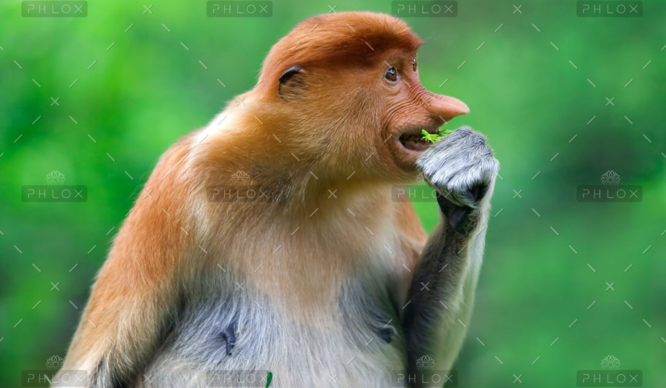 demo-attachment-291-proboscis-monkey-PK9YC3W-1