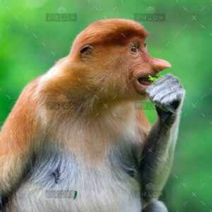 demo-attachment-105-proboscis-monkey-PK9YC3W