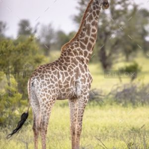 demo-attachment-1294-giraffe-standing-in-soft-sunset-light-2FS4YDN