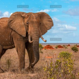 demo-attachment-1298-the-african-bush-elephant-29KPBTK